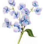 hydrangea-lores